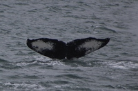 Whail tail while whale watching our of Juneau, Alaska