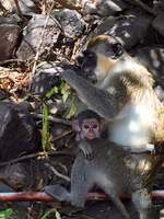 Momma and baby monkey in St Kitts