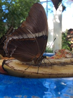 This is a picture of a butterfly eating a piece of banana at the conservatory.