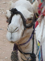 Cutest camel I have ever seen ... waiting patiently for tourists at Petra