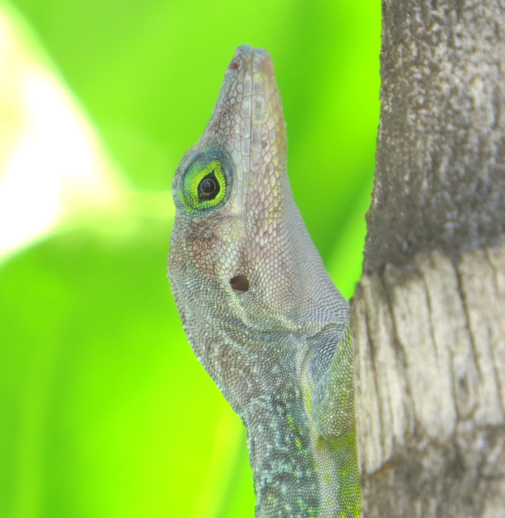 Adorable Anole lizard in St . Kitts. This is our favorite Island for its beautiful beaches.