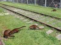 Wild coatimundis at the Gatun Locks Visitor Center