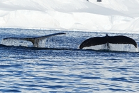 Humpback Whale Tails