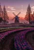 Windmill & tulips, like the name of the river cruise.  Somewhere in the Net