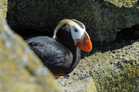 Puffin on a ledge another Zodiac outing