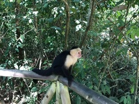 Monkey in Manuel Antonio park
