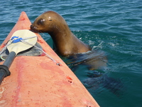 While sea Kayaking with Sea Lions, this one got up close and personal.  It eventually climbed on top of the Kayak.  The guide was great, he held our Kayak steady so we did not swim with the sea lions.