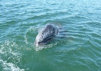 Grey Whale Baby in Magdelena Bay
