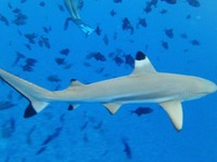 Swimming with the sharks in Bora Bora. Exhilarating!