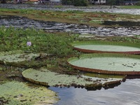 The giant lily pads in Lake January near Manaus.  Some as big as 4-5 feet i