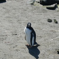 A Gentoo Penguin on The Falkland Islands