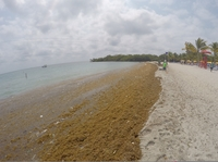 Harvest Caye -- dead seaweed (and trash)