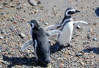 Penguins at Puerto Tombo