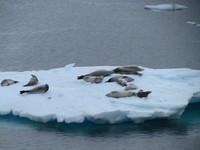 Seals floating on an iceberg in the Antarctic waters.