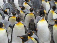 King penguins in the Falklands.