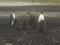 King penguins Bluff Cove