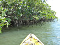 Kayaking by the mangroves