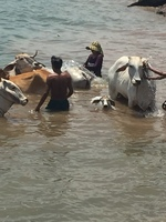 Oxen cooling down in the Mekong