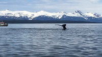 Whale diving in Auke Harbour, Juneau during whale watch tour.