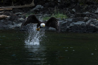 Bald Eagle grabbing a fish as we sit on our Zodiacs and gawk!