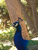Peacocks are free to roam the grounds.