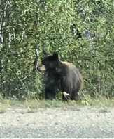 Cinnamon bear on the way to th Yukon.