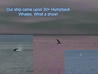 This group of humpbacks were not too far out from Victoria. Enjoyed the show from the deck of our ship!