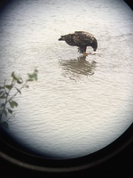 bald eagle eating salmon in Skagway
