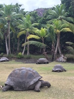 Curieuse Giant turtles