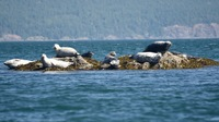 Seals in the San Juan Island