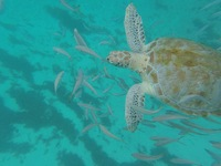 Swimming with turtles, Barbados.
