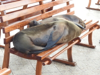 Sea Lions in Santa Cruz.  You will get quite blasé about seeing these thin