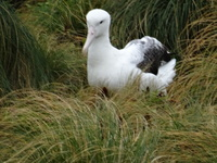Nesting Albatross on Campbell Is