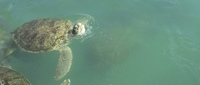 Sea turtle on an included excursion
