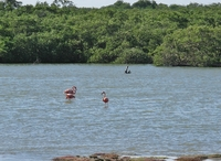 Flamingoes and mangroves in Bonaire