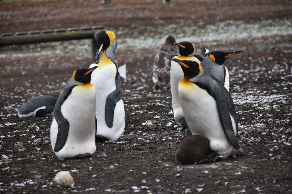 Penguins in Falkland Island
