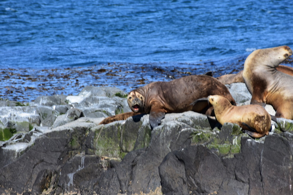 Big Sea Lions off the coast of in Ushuaia