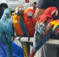 Colorful parrots on the streets of San Juan