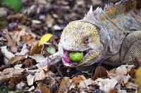 Iguana with apple in its mouth, he swallowed it whole!