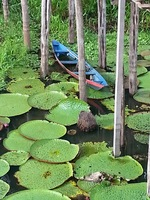 The famous giant water-lilies of Lake Janaurai, an Optional outing - by can