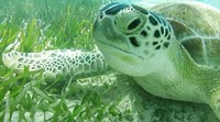 Seaturtle while snorkeling at Coco Cay!