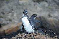 Galapagos penguin, seen onboard M/Y Grace while cruising