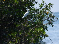Egret in mangrove