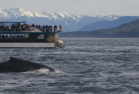 Whale watching in Janeau. Evening cruise with plenty of activity from sever