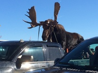 The Moose Parade in Gaspe' Canada