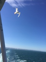 Seagull drafting off the ship as we leave Dover and cross the English Chann
