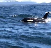 Killer whales while fishing in the gulf of Sitka
