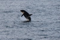 Orca whale breaching. This was the only pod of Orcas we saw.  Saw many othe