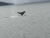 We observed several humpback whales while on an excursion in Juneau. What a