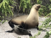 Baby sea lion nursing